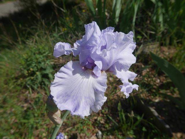 Iris pathologie : virose ou pas virose ? P1000610