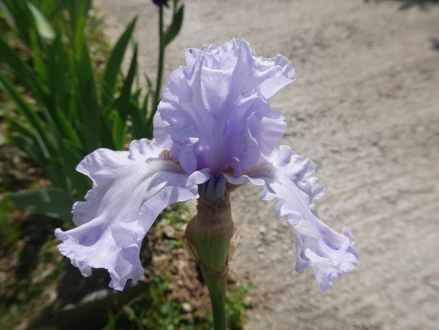 Iris pathologie : virose ou pas virose ? P1000611