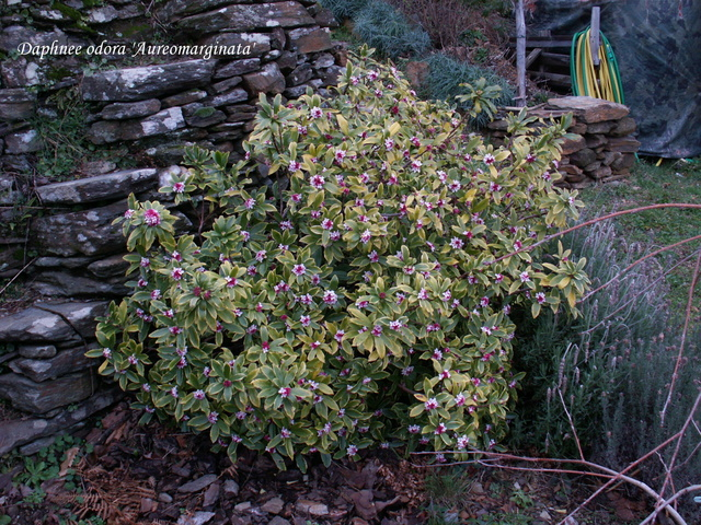 Daphne odora 'Aureomarginata' Pict5310