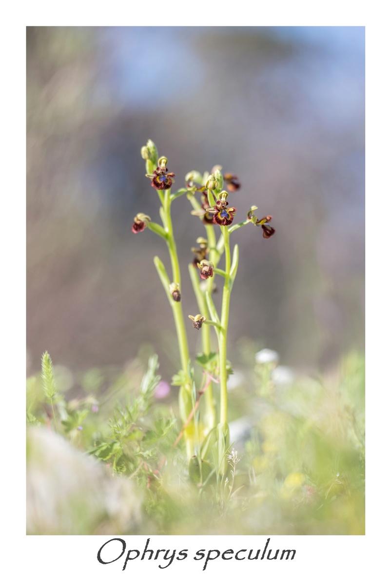Ophrys miroir histoire de speculer un peu...) 3610