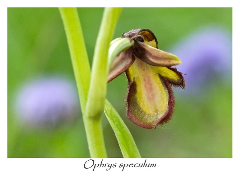 Ophrys miroir histoire de speculer un peu...) 4-210