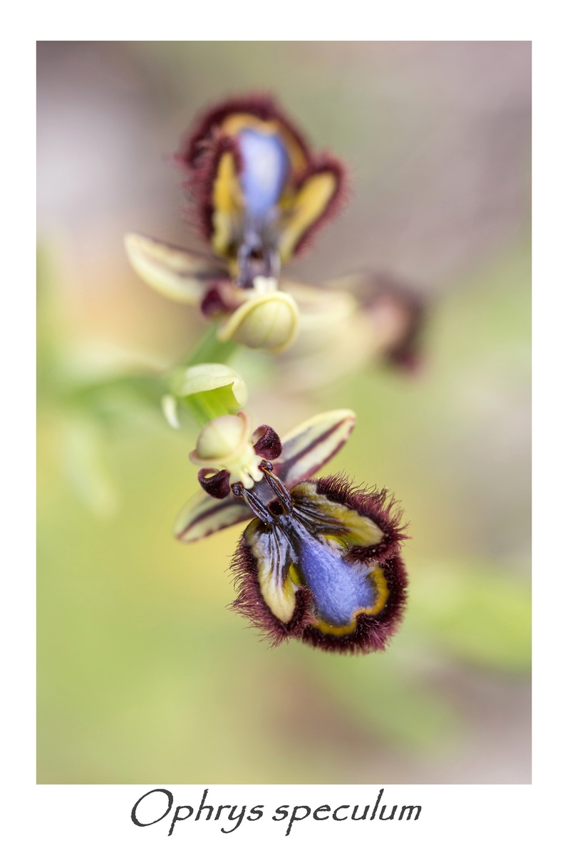 Ophrys miroir histoire de speculer un peu...) 710