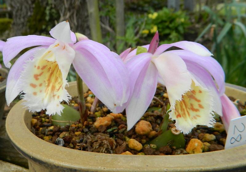 Mes Satsuki- Mes Fleurs - Page 15 Plei4-10