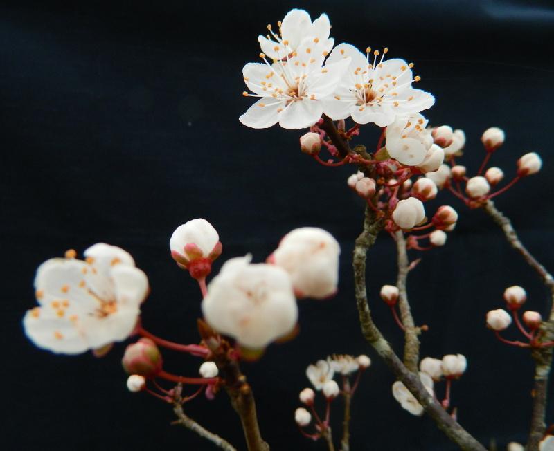 Mes Satsuki- Mes Fleurs - Page 15 Prunus10