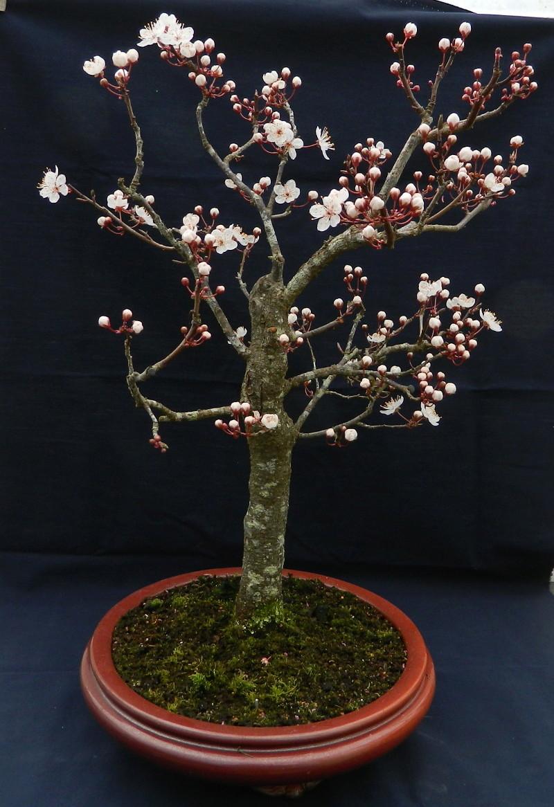 Mes Satsuki- Mes Fleurs - Page 15 Prunus11