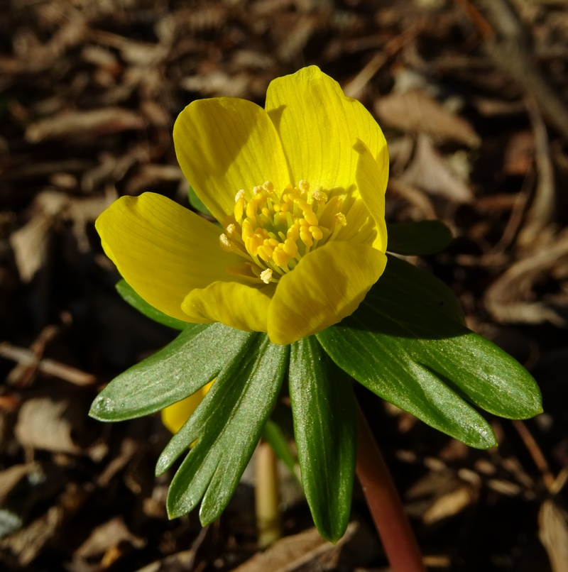 73- Eranthis hiernalis Eranth10