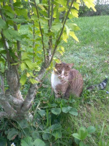 Trouvé chat tigré et blanc à Cornebarrieu Part_112