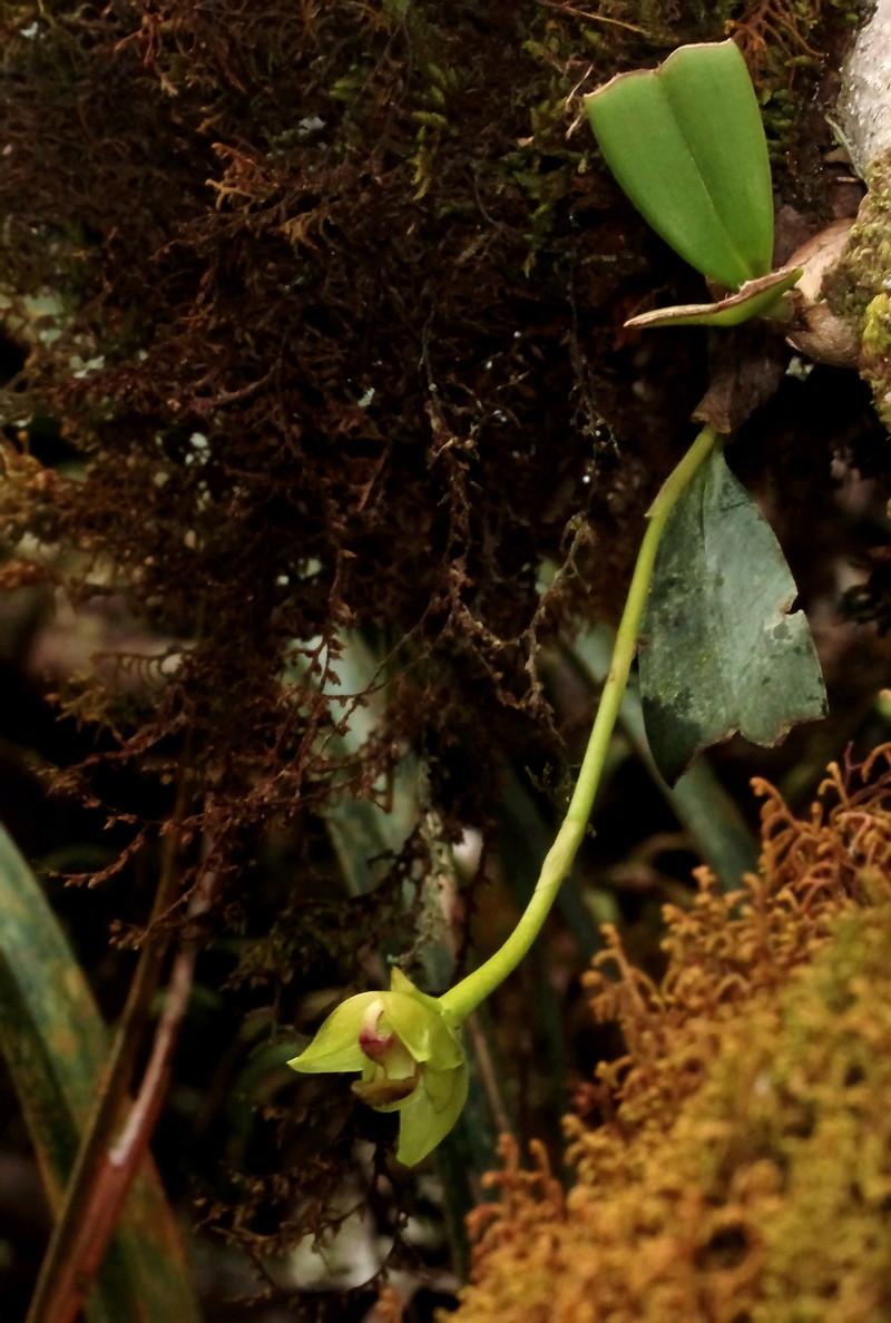 Bulbophyllum macrocarpum, la vie en jaune 032111