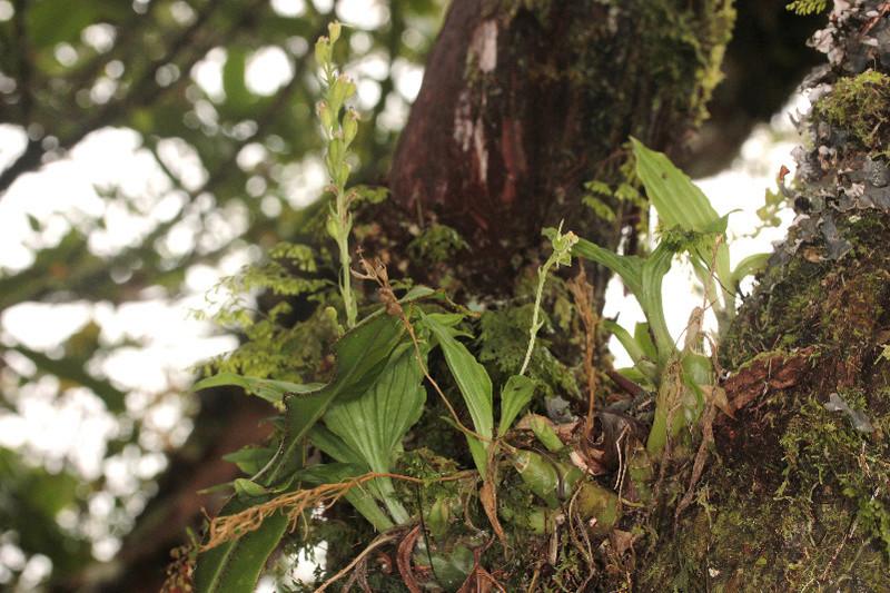 Découverte d'une nouvelle liparis à La Réunion 117