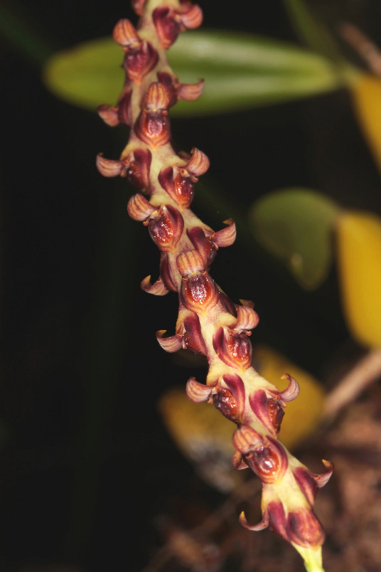 Bulbophyllum macrocarpum, la vie en jaune 1202110