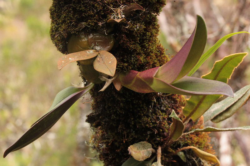 Liparis microcharis et bulbophyllum occlusum 412