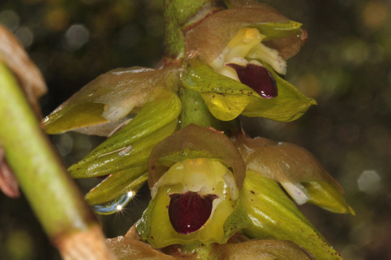 Liparis microcharis et bulbophyllum occlusum 811