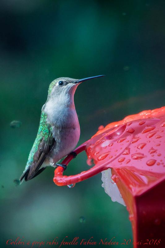 Colibri à gorge rubis _mg_3910