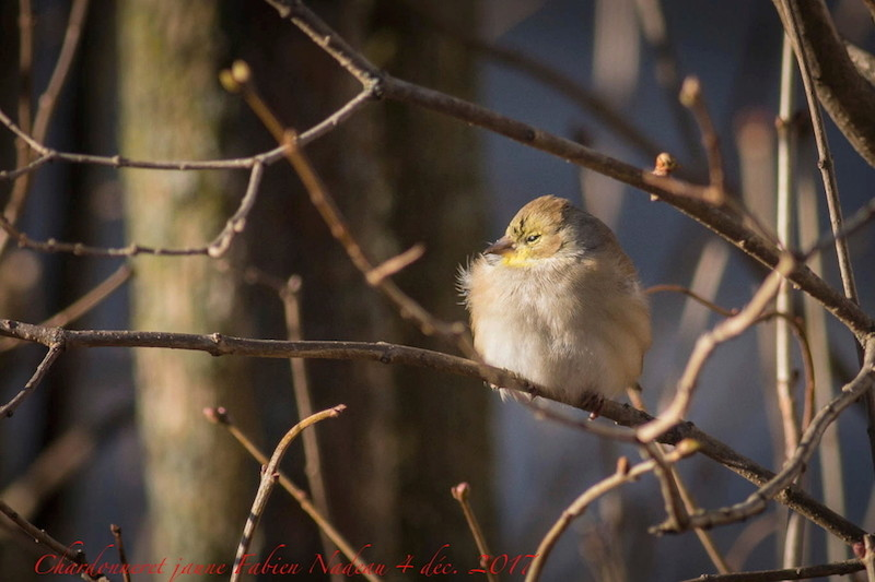 Chardonneret jaune _mg_9011