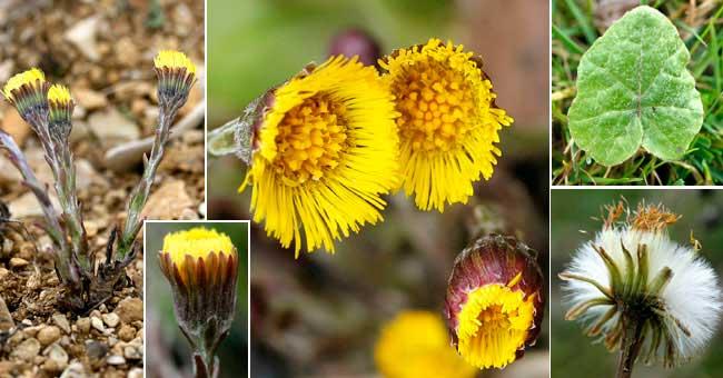 Le Tussilage, une plante médicinale exceptionnelle As_tus10
