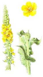 Le Tussilage, une plante médicinale exceptionnelle Bouill11