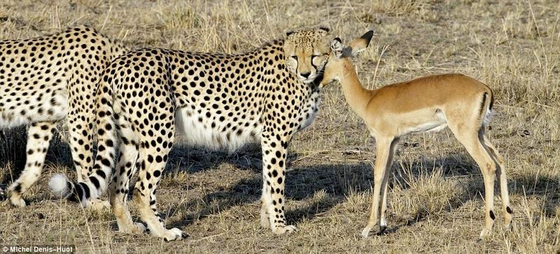 Amour Animal Gamani12