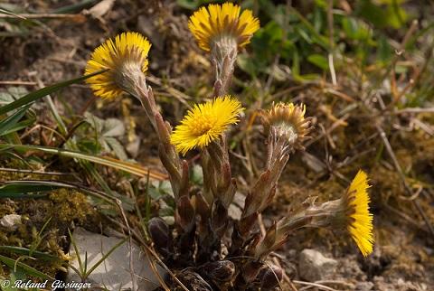 Le Tussilage, une plante médicinale exceptionnelle Ob_7ce10