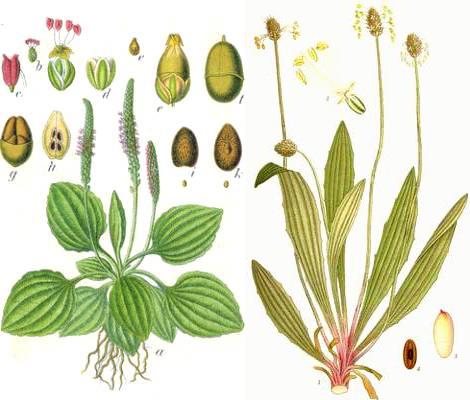 Les vertus des Plantains  Planta10