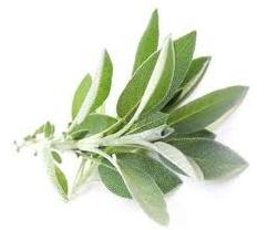 Le Tussilage, une plante médicinale exceptionnelle Sauge10