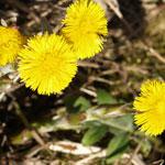 Le Tussilage, une plante médicinale exceptionnelle Tussil10