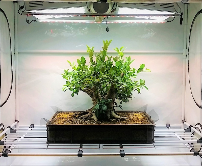 Indoor Bonsai under LED lights. - Page 18 20181110