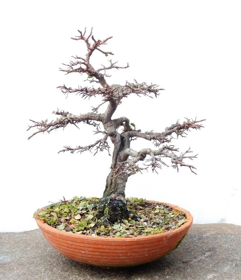 Chinese elm Dscn4510