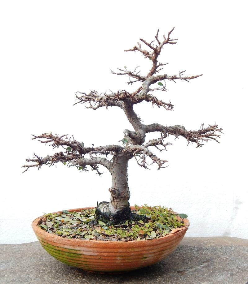 Chinese elm Dscn4511