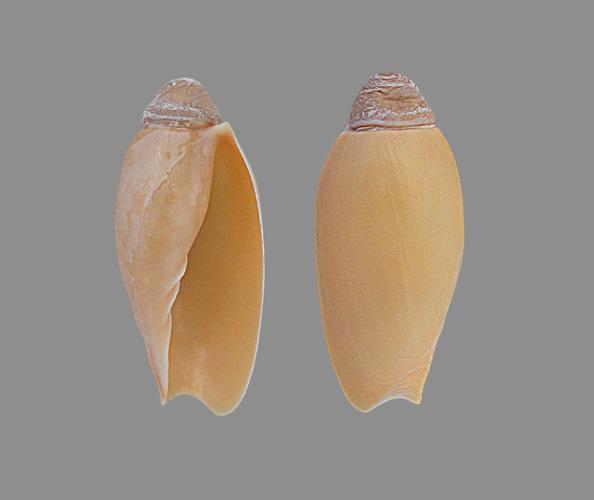 Volutidae Cymbiinae Cymbiini Cymbium du Sénégal - la planche Cymbiu10