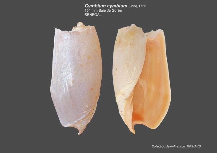 Volutidae Cymbiinae Cymbiini Cymbium du Sénégal - la planche Cymbiu11