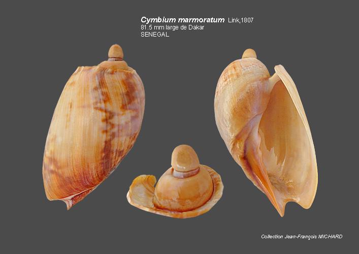 Volutidae Cymbiinae Cymbiini Cymbium du Sénégal - la planche Cymbiu12