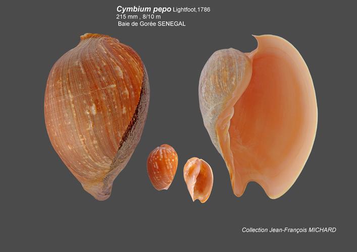 Volutidae Cymbiinae Cymbiini Cymbium du Sénégal - la planche Cymbiu14