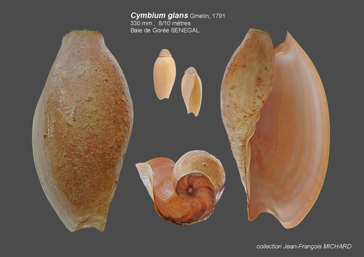 Volutidae Cymbiinae Cymbiini Cymbium du Sénégal - la planche Cymbiu15