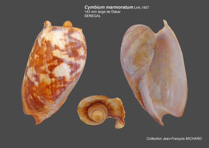 Volutidae Cymbiinae Cymbiini Cymbium du Sénégal - la planche Cymbiu16