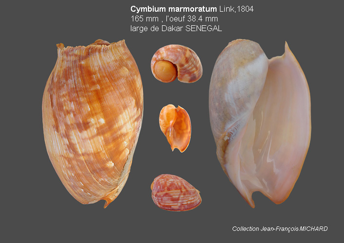 Volutidae Cymbiinae Cymbiini Cymbium du Sénégal - la planche Cymbiu17