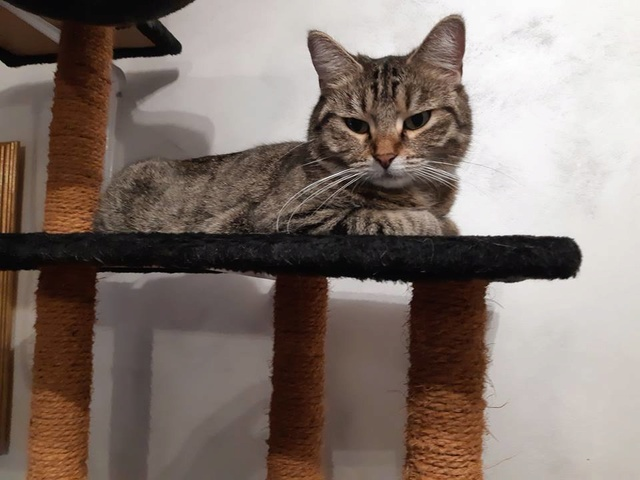 XENA - Tabby - Née le 01/05/2015 - En FA dans le 60 47375610