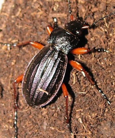 Suivi d'élevage Ch. auronitens f. i. auverloti (noviprati) 00110