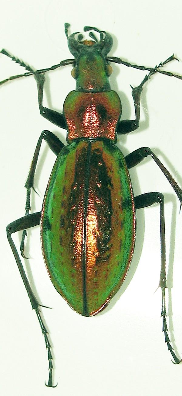 Introduction de Chrysocarabus lineatus à Najac (12) 009_n110