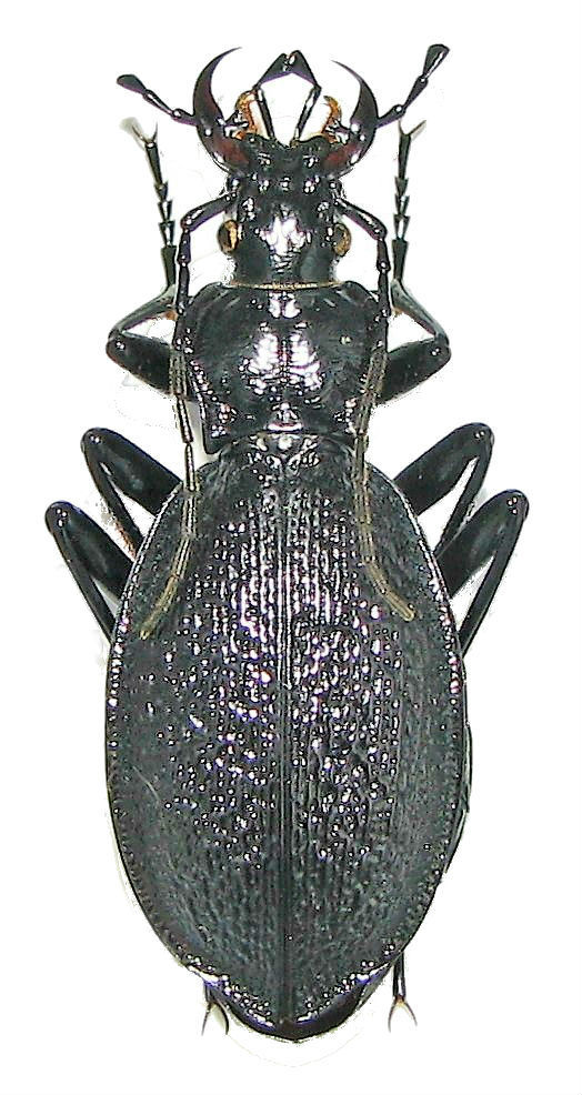 Qui suisje ? (Coleoptera Carabidae) Img_0024