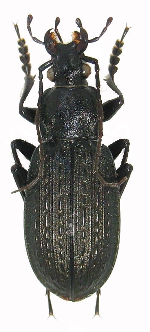 Qui suis je ? Coleoptera Carabidae Img_0058