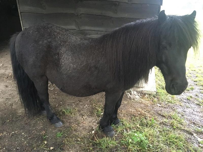 NOIROT - ONC poney né en 1997 - adopté en juillet 2016 par Leila 32376711