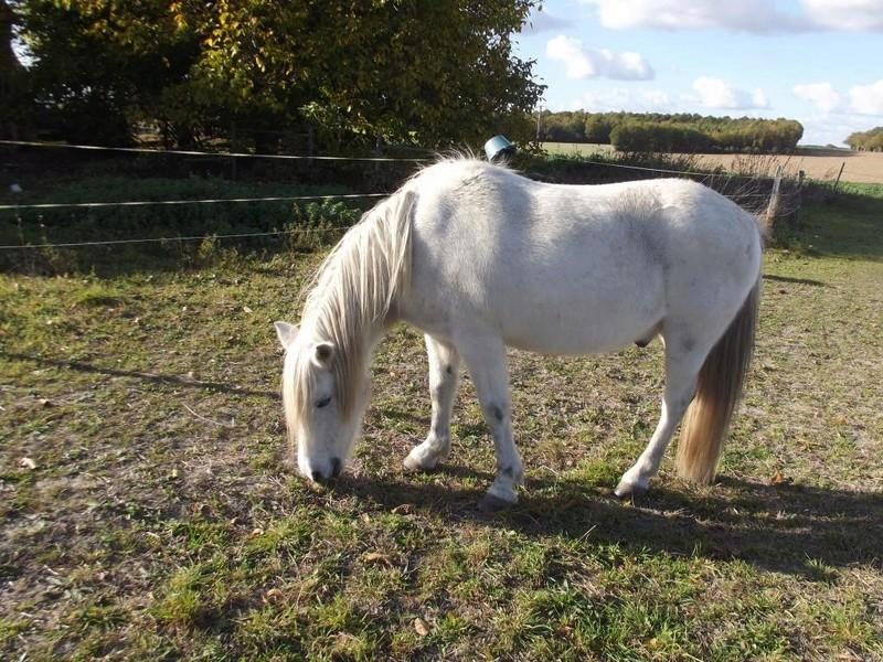 KIWI - ONC poney typé Shetland né en 1998 - adopté en juillet 2015 par Alexandra 3_gauc10