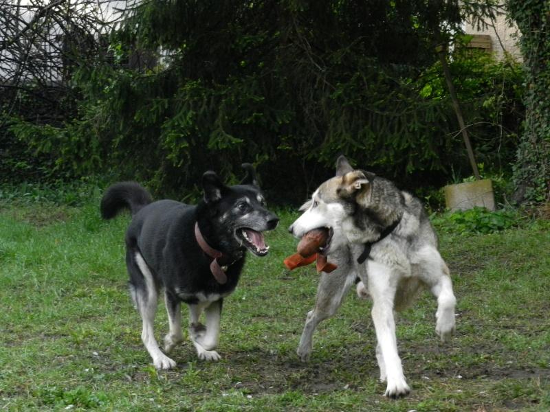 Link Berger X Husky mâle 5 ans gris et blanc PAR:38 ADOPTE - Page 2 Dscn2610