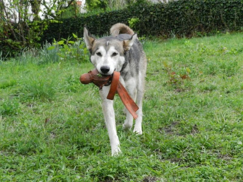 Link Berger X Husky mâle 5 ans gris et blanc PAR:38 ADOPTE - Page 2 Dscn2611