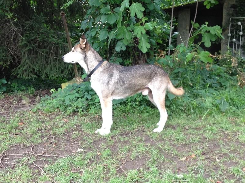 Link Berger X Husky mâle 5 ans gris et blanc PAR:38 ADOPTE - Page 2 Photo_10