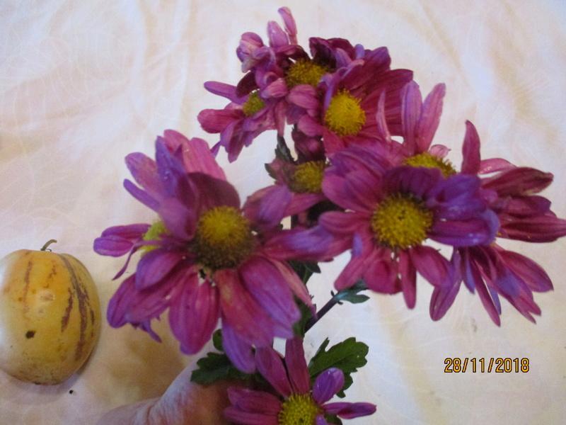 Chrysanthèmes  - Page 7 Img_0510