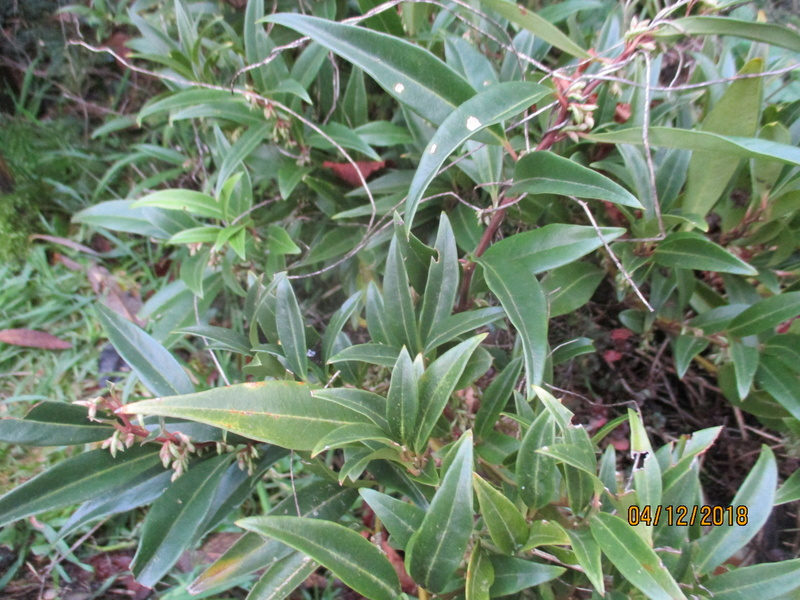 Le sarcococca - Page 3 Img_0617