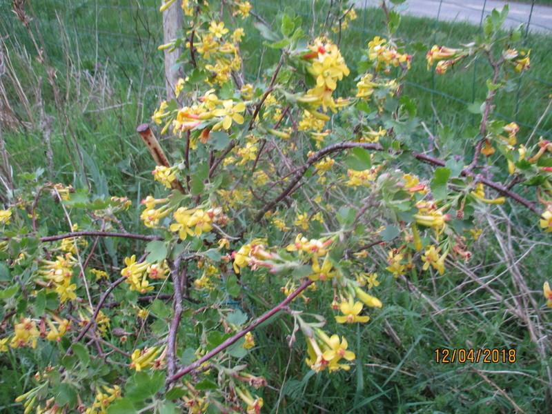 Groseillier à fleurs jaunes : Ribes odoratum - Page 2 Img_7837