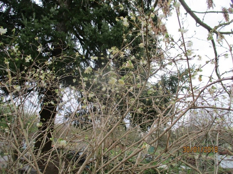 Lonicera fragrantissima,du parfum en hiver - Page 2 Janvie31