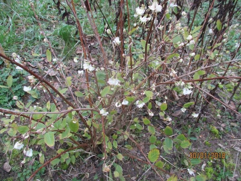Lonicera fragrantissima,du parfum en hiver - Page 2 Janvie33